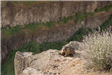 Palouse Falls marmot on cliff