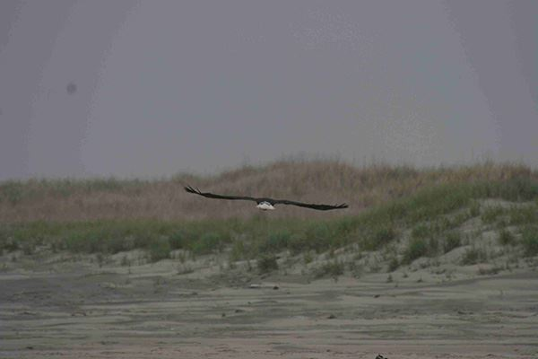 Leadbetter - Bald Eagle and Dune