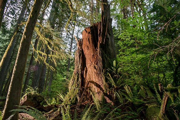 Rockport old-growth Douglas-fir stump