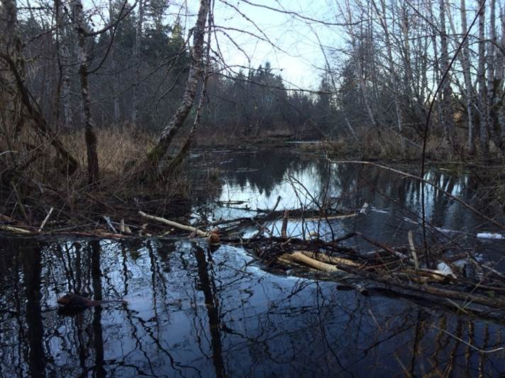 Beaver pond before