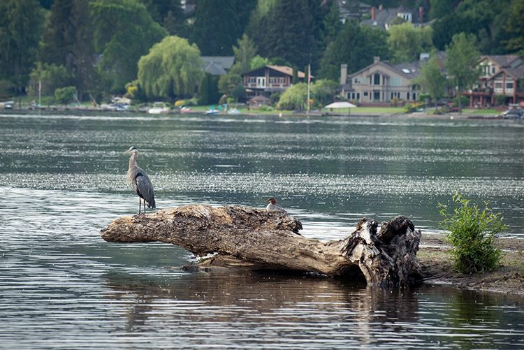 Lake Sammamish blue heron