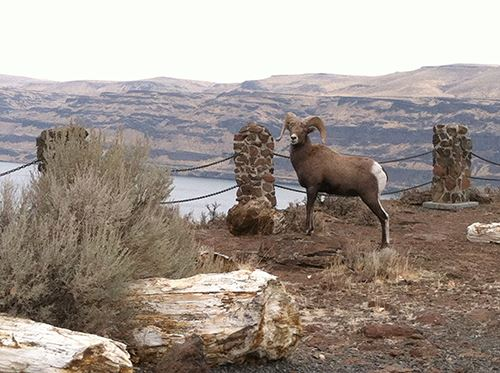 Bighorn Sheep , Ginkgo Petrified Forest State Park